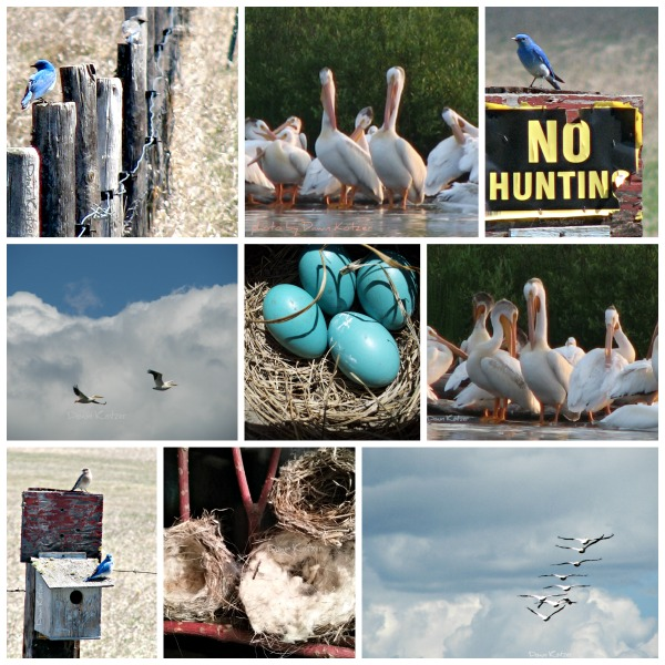 Bluebirds and white pelicans. Wildwood nests and robin eggs - Dawn Kotzer photos