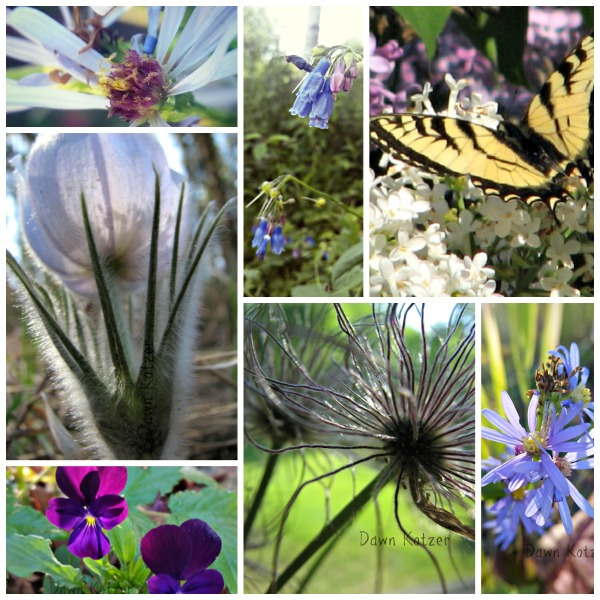 Wildwood crocus bluebells and daisies - photos by Dawn Kotzer